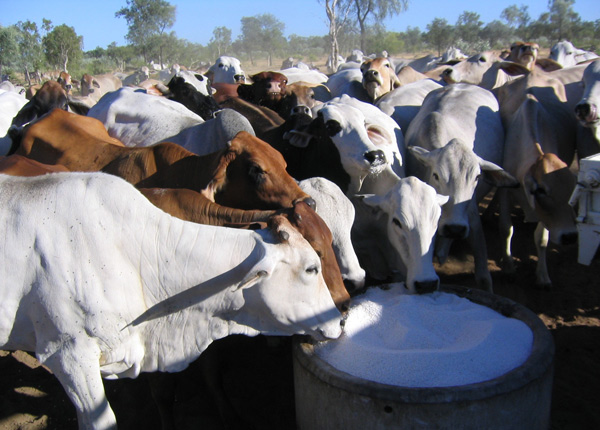 stocklick cattle supplements